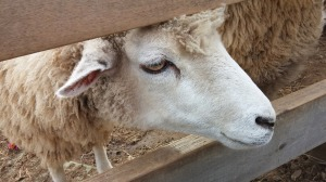 Sheep close-up
