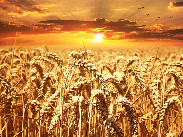 wheat-field-by-pezibear